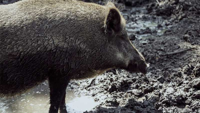 Wild Boars Forest of Dean Gloucestershire England