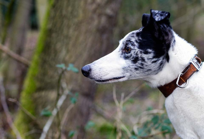 monty the lurcher sight hound and family pet dog