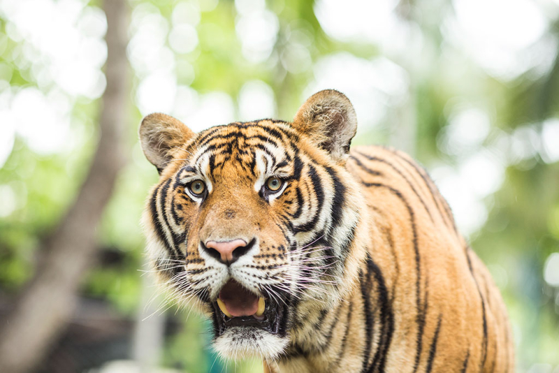 Close-up-tiger-in-jungle-the-danger-animal-learning-resources