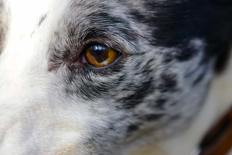A lurcher sighthound close up of face