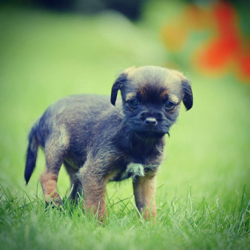 Isla-Border-Terrier-Eight-Week-Old-Puppy-in-Garden