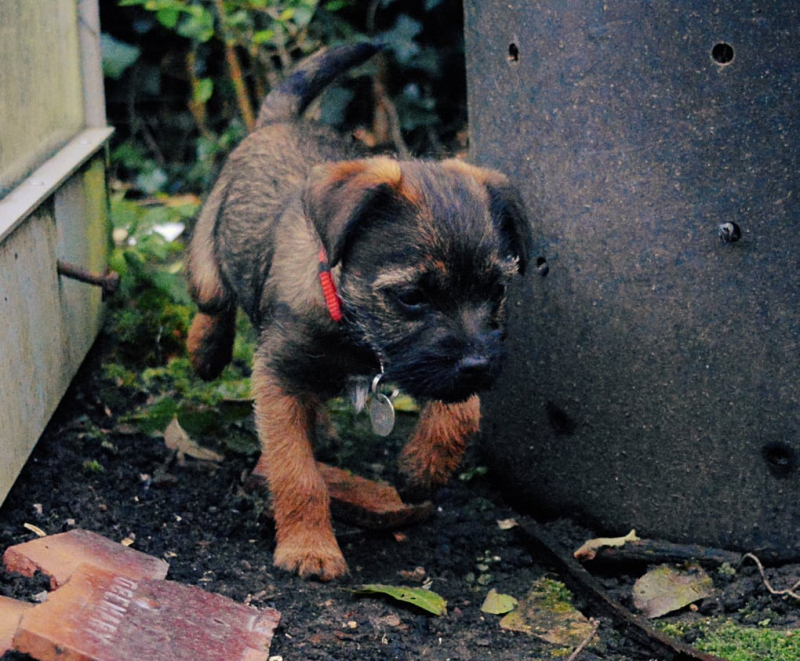 Border Terrier Puppy hunting by compost
