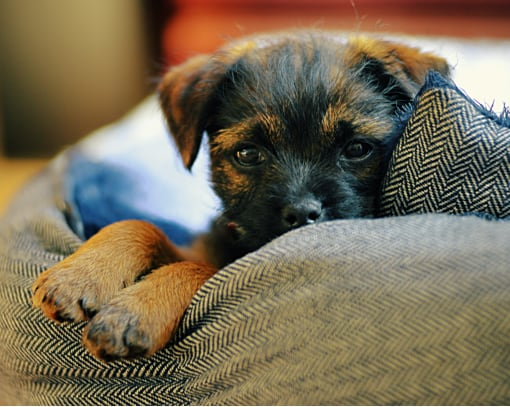 Dog New Border Terrier Puppy Chilling in Basket