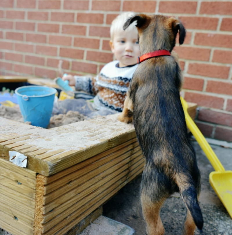 Border Terrier puppy with infnt in sand pit