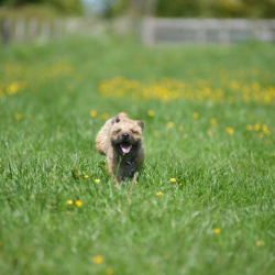 Puppy-running-fast-in-a-buttercup-field