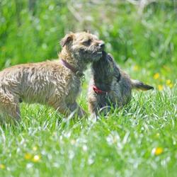 Islay-border-terrier-puppy-licking-Bens-face