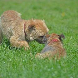 Ben-a-border-terrier-meeting-Isla-in-a-grass-field