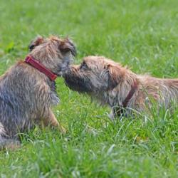 Ben-Isla-Border-Terrier-Puppies-Spring-Day