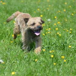 Brder-Terrier-Ben-running-in-field