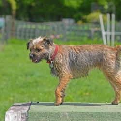 Isla-Border-Terrier-Puppy-Agility-Training