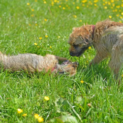 Isla-Border-Terrier-puppy-on-her-back-in-grass-with-Ben