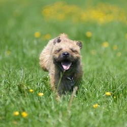 Ben-the-Border-Terrier-puppy-running-hard