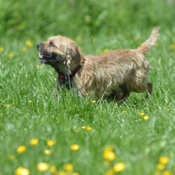 Ben-a-one-year-old-border-terrier-in-a-grass-field-with-buttercups