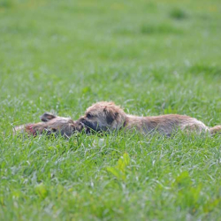 Heads-of-two-border-terriers-in-grass-field