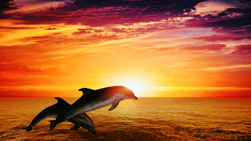 Moecambe_Bay_dolphins